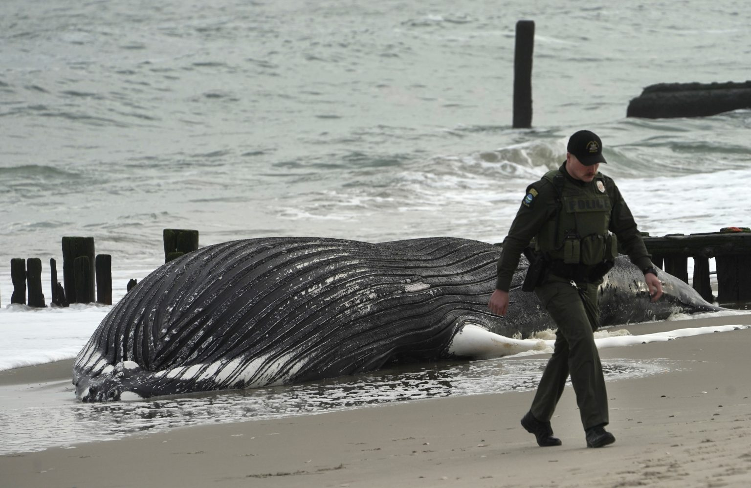 SEE IT: 35-foot humpback whale washes up on Rockaway's Riis Park